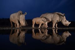 Two white rhino families standing at a water hole during the blue hour