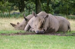 Two White Rhino relax on some grass mid afternoon royalty free stock photos