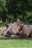 Two White Rhino relax on some grass mid afternoon royalty free stock photo