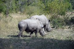 Two white Rhino in the wilderness of Africa. Eating some gras stock photo