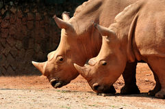 Two White Rhinoceros Stock Image