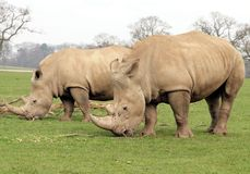 Two White Rhinoceros Stock Images