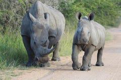 Two white rhinoceros Royalty Free Stock Photos