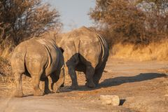 Two White rhinoceros from backside - Ceratotherium simum. The white rhinoceros or square-lipped rhinoceros Ceratotherium simum is the largest species of Stock Images