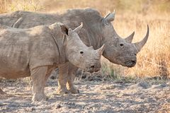 Two White rhinoceros Ceratotherium simum. The white rhinoceros or square-lipped rhinoceros Ceratotherium simum is the largest species of rhinoceros that exists Stock Photography