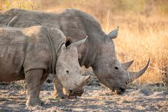 Two White rhinoceros Ceratotherium simum. The white rhinoceros or square-lipped rhinoceros Ceratotherium simum is the largest species of rhinoceros that exists Royalty Free Stock Image