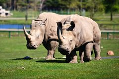 Two White Rhinoceros on the grass Stock Image
