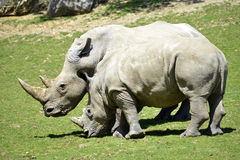 Two white rhinoceros in grass Stock Photo