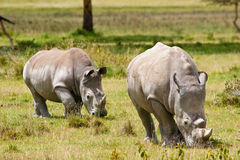 Two white rhinoceros grazing Royalty Free Stock Photos