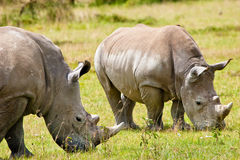 Two white rhinoceros grazing. On the grass Royalty Free Stock Photos