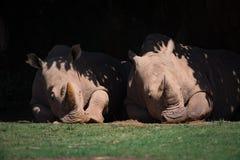 Two white rhinoceros lying under leafy canopy Stock Image