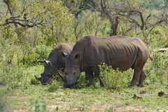 Two white rhinoceros Ceratotherium simum in Hluhluwe–iMfolozi Park, South Africa. Two white rhinoceros or square-lipped rhinoceros Ceratotherium simum in Stock Photography