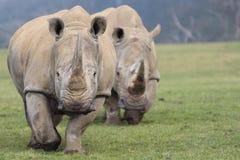 Two White Rhinoceros Walking towards camera Royalty Free Stock Photos
