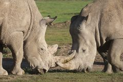 Two white rhinoceroses face off royalty free stock photo