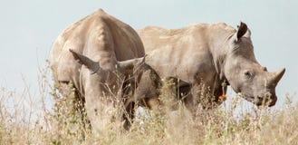 Two white rhinos grazing royalty free stock photos