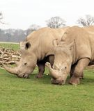 Two White Rhinos eating Royalty Free Stock Photo
