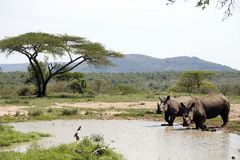 Two White Rhinos In A NP, Africa Royalty Free Stock Photography
