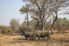 Two white rhinos in Kruger National Park royalty free stock photography