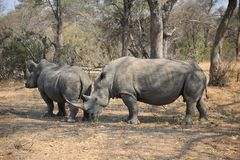 Two white rhinos in Kruger National Park stock photography