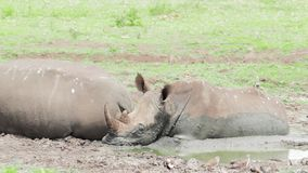 Two white rhinos in a muddy watering hole Kwazulu Natal. Two white rhinos in a muddy watering hole central Kwazulu Natal stock footage