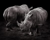 Two White Rhinos. A Pair of Rhinos Against a Black Background royalty free stock images