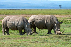 Two white rhinos Stock Images