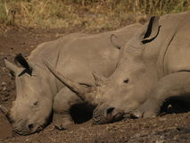 White Rhinos (2). Two white rhinos sleeping next to water hole Royalty Free Stock Photo