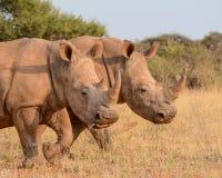 Two White Rhinos walking Stock Photo