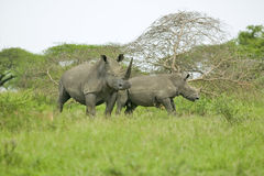 Two White Rhinos Walking Through Brush In Umfolozi Game Reserve, South Africa, Established In 1897 Stock Photos