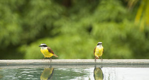 Two White Ringed Flycatchers Rest by a Pool Royalty Free Stock Image