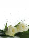 Two white roses. White roses in tender bouquet isolated over white background Stock Photo