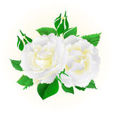 Two white roses  festive  background vintage vector. Botanical illustration editable hand draw Royalty Free Stock Image