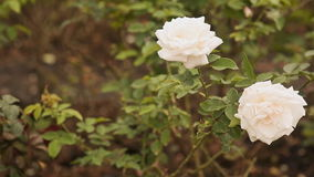 Two white roses of a gentle shade fluctuate in the wind. stock footage