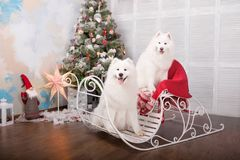 Two white samoyed husky dog. Christmas and New Year decorations. Dog near the christmas tree. Royalty Free Stock Photos