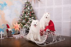 Two white samoyed husky dog. Christmas and New Year decorations. Dog near the christmas tree. Stock Photography
