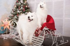 Two white samoyed husky dog. Christmas and New Year decorations. Dog near the christmas tree. Stock Photo