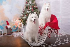 Two white samoyed husky dog. Christmas and New Year decorations. Dog near the christmas tree. Royalty Free Stock Images