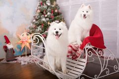 Two white samoyed husky dog. Christmas and New Year decorations. Dog near the christmas tree. Royalty Free Stock Image