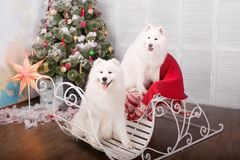 Two white samoyed husky dog. Christmas and New Year decorations. Dog near the christmas tree. Stock Photos
