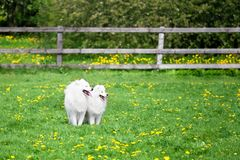 Two white Samoyeds dogs sit on green grass and yellow flowers field on sunny summer day, big and small laika pets, two spitz dogs stock photos