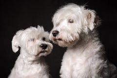 Two white schnauzer dogs Royalty Free Stock Photo