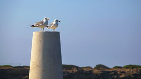Two white seagull. Sitting on the rock royalty free stock images