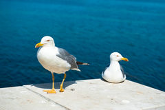 Two white seagulls. On blue sea background, one walking, another sitting. Focus on the first bird Royalty Free Stock Photo