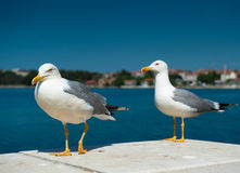 Two white seagulls. On blue sea background, one walking, another standing. Focus on the first bird Royalty Free Stock Images
