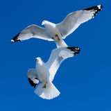 Two white seagulls in blue sky Royalty Free Stock Photo