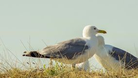 Two White Seagulls Standing In Field. Two white common seagulls standing together facing each other in the grass against blue sky stock video footage