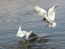 Two white gulls on the water fighting for prey. Two white seagulls on the water fighting for prey, splashing water in different directions, the dynamics of Stock Photos