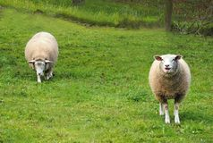 Two white sheep on a grass Stock Photography