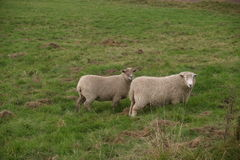 Two white sheep Royalty Free Stock Image