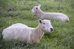 Two white sheeps on the mountains of the north island of New Zealand Royalty Free Stock Images